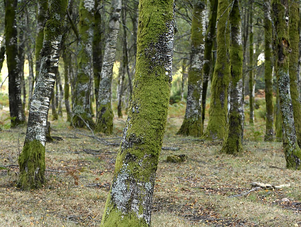 Bosque de betulast